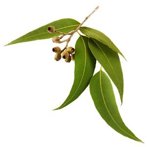 vůně eukalyptus
